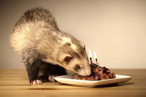 ferret-eating