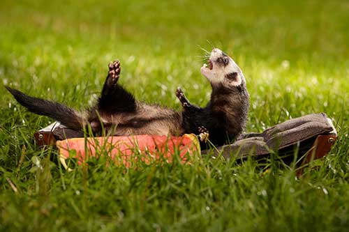 ferret-lounging