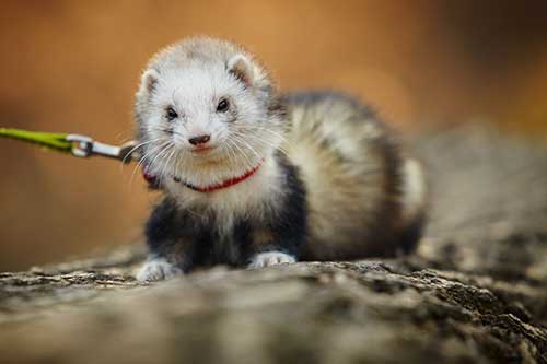 ferret-on-walk-in-park