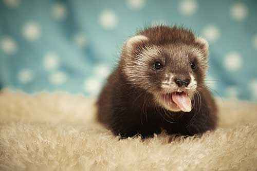 ferret-with-tongue-out